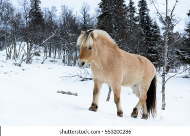 Przewalski's horse walking trough the snow in the park
