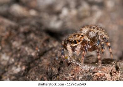Pseudeuophrys sp. female (Salticidae)