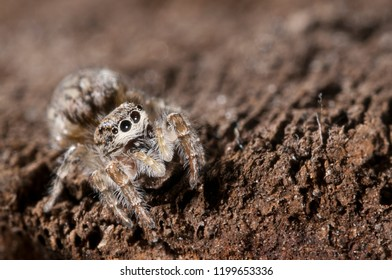 Pseudicius encarpatus female (Salticidae)