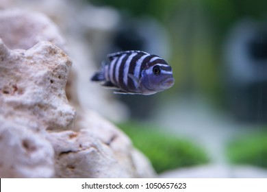 Pseudotropheus Demasoni. Cichlid fish from lake malawi.
