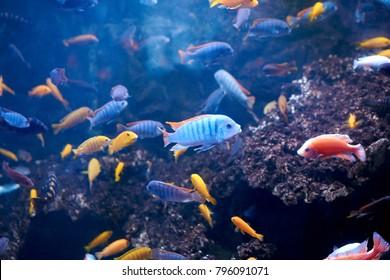 pseudotropheus greshakeiin aquarium ad many other Cichlids . endemics to Lake Malawi