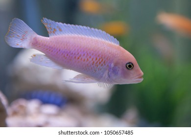 Pseudotropheus Zebra. Cichlid fish from lake malawi.