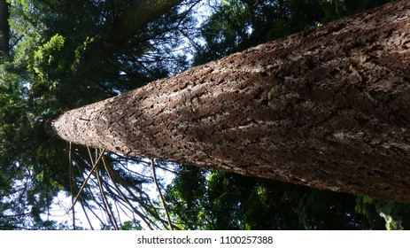 Pseudotsuga menziesii, commonly known as Douglas fir, Douglas-fir and Oregon pine, is an evergreen conifer species native to western North America. Pinaceae family.