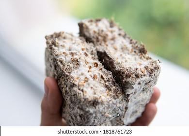 Psilocybe cubensis Macro mycelium on wheat. Psilocybe cubensis Macro mycelium on wheat. Mycelium fungus. Fusarium euwallaceae. Macro.