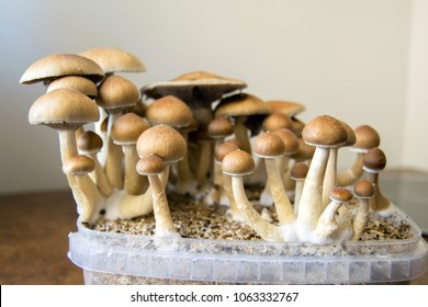 Psychedelic magic mushrooms growing at home, cultivation of psilocybin mushrooms