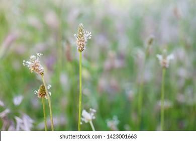 psyllium flowers in the meadow