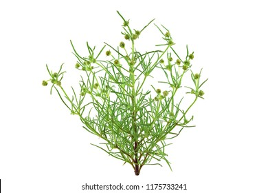 Psyllium Plantago Medicinal Herb Plant. Psyllium (Ispaghula) Husk and Seeds are Common Cholesterol Lowering Food Supplements and Colon Cleansing Fiber Ingredients. Isolated on White Background.