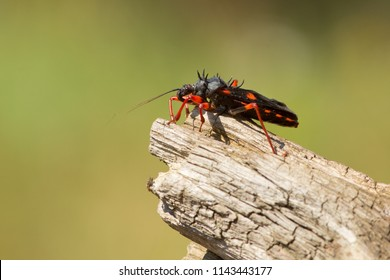 Psytalla horrida is an insect in the Psytalla genus of assassin bugs. It is commonly called the horrid king assassin bug or giant spiny assassin bug