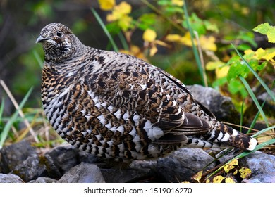 Ptarmigan in the autumn forest in Canadian Rocky Mountains. Banff Nationla Park. Alberta. Canada.