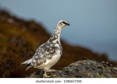 Ptarmigan, Lagopus muta, close up portrait while in winter plumage on a snowless slope with cloudy background during December in Scotland.