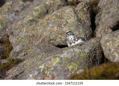 Ptarmigan, Lagopus muta, hiding/walking on a mountain slope in Scotland , cairngorms national park, during a sunny autumn day in October.