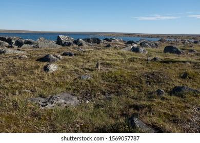Ptarmigan in Nunavik Northern Canada Natioanl Park Pingaluit