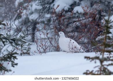 Ptarmigan in a snowy scene