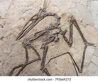 Pteranodon fossil on rock