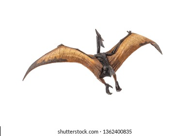 Pteranodon (Pterodactyl) Dinosaur on white background   .