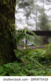 Pteridophyte - Nail moss plants attached to pine trees