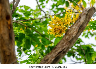 Pterocarpus macrocarpus yellow flower with the bees find food on nature background. Pterocarpus indicus Willd on green leaves blurred background. Burma padauk blooming on tree.