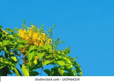 Pterocarpus macrocarpus yellow flower on nature sky background. Pterocarpus indicus Willd on green leaves blurred background. Burma padauk blooming on tree.