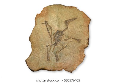 Pterodactyl Fossil, Pterodactilus Spectabilis, Fossil of prehistoric animals, Fossil trilobite imprint in the sediment, Dinosaur fossil isolated on white background
