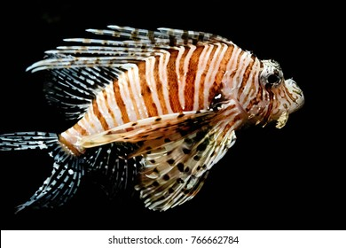 Pterois is a genus of venomous marine fish, commonly known as lionfish