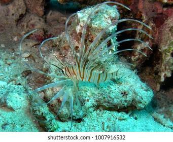 Pterois volitans,red sea,egypt