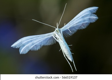 Pterophoridae or paltsekrylye or pteroforidy (Latin Pterophoridae.) - A family of butterflies twilight, different from other lepidopteran always straightened flat wings