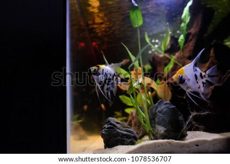 Pterophyllum scalare, most commonly referred to as angelfish or freshwater angelfish