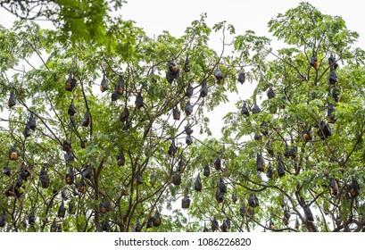 Pteropus lylei on the tree