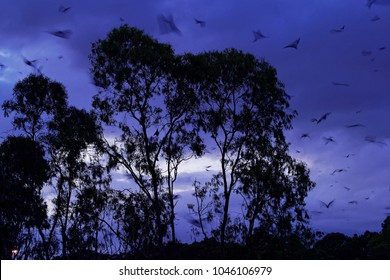 Pteropus poliocephalus - Gray-headed Flying Fox in the night, fly away from day site, hang down on the branch