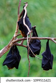 Pteropus poliocephalus - Gray-headed Flying Fox in the evening, fly away from day site, hang down on the branch.