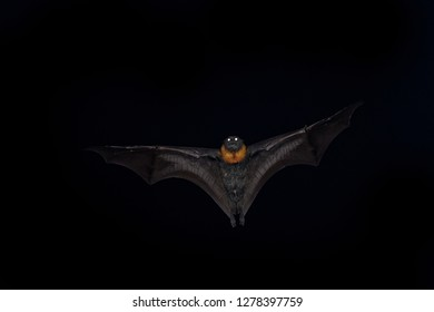 Pteropus poliocephalus - Gray-headed Flying Fox in the night, flying away from day site