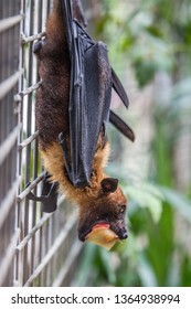 Pteropus poliocephalus - Gray-headed Flying Fox in the evening, fly away from day site, hang down on the branch. Eating fruit.