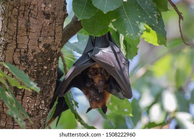 Pteropus poliocephalus - Gray-headed Flying Fox in the evening, fly away from day site and feeding on fruits, hang down on the branch.
