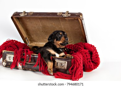 Ptetty puppy  in old vintage suitcase on  a red lace shawl