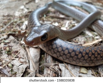 Ptyas korros, commonly known as the Chinese ratsnake or Indo-Chinese rat snake, is a species of colubrid snake endemic to Southeast Asia.