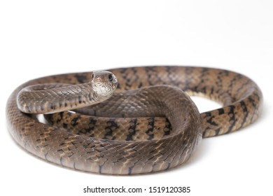 Ptyas mucosa, commonly known as the oriental ratsnake, Indian rat snake, a common species of colubrid snake found in parts of South and Southeast Asia. Isolated on white background.