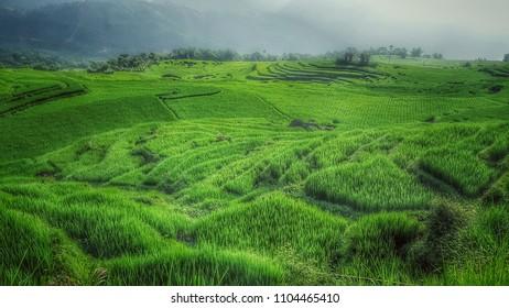 Pu Luong green rice field Vietnam