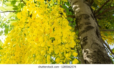 Pudding Pine Golden shower Indian Laburnum Cassia fistula Yellow flowers are a large bunch On a large tree called Cassia fistula.