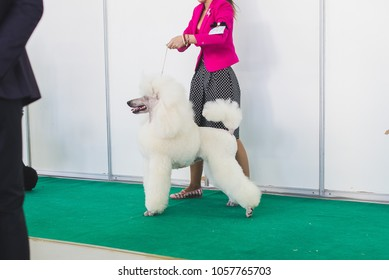 Pudel dog expo show Poodle