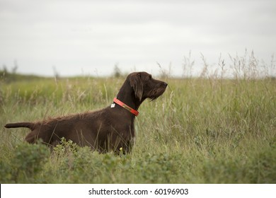 Pudelpointer hunting dog in field