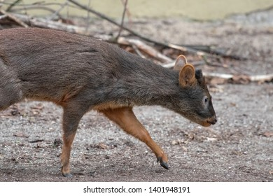 a pudu in a zoo