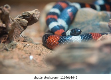 Coral Snake Images, Stock Photos & Vectors | Shutterstock