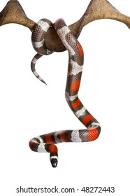 Pueblan milk snake or Campbell's milk snake, Lampropeltis triangulum campbelli, hanging from branch in front of white background