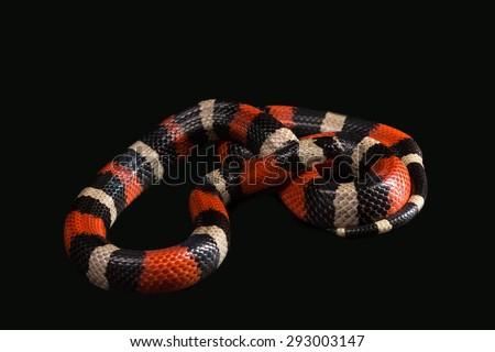 Pueblan Milk Snake Campbells Milk Snake Stock Photo (Edit