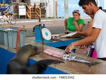 Puerto Ayora, Galapagos Islands, Ecuador - November 3 2015. A young man cleans a fish at the Puerto Ayora outdoor fish market while a wild Galapagos sea lion (Zalophus wollebaeki) waits for scraps