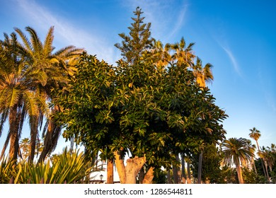 Puerto de la Cruz. A rubber tree in the city you can see here more often. Rubber trees are often planted here and often.