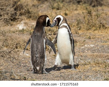 Puerto Madryn. Argentina. Mating dance of Magellanic penguins.  During the mating season, the male attracts the female by shouting. Then the male walks in a circle around the female, quickly flapping