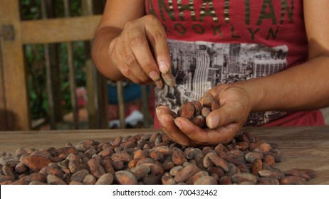 Puerto Quito, Pichincha / Ecuador - August 17 2017: Woman's hands selecting cacao beans. Separating cocoa beans is a part of the process for making artisanal chocolate