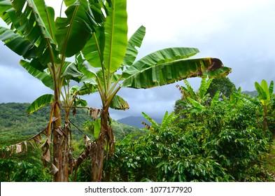 Puerto Rican Coffee Farm, Finca, Puerto Rico Plantation, Tropical Foilage, Ginger, Coffee Trees, Greenery, Adjuntas, Mountain Farm, Agriculture, Organic