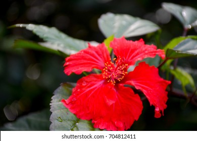 Puerto Rican hibiscus, amapola (Thespesia grandiflora) in the El Yunque national forest, Puerto Rico